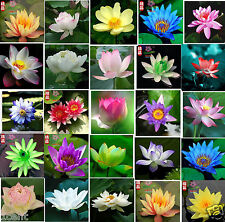 20 seeds of water lily mini small lotus Hydroponic flowers aquarium Waterlilies