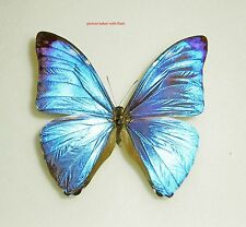 MORPHO MARCUS ssp.MARCUS*male*FRENCH GUIANA
