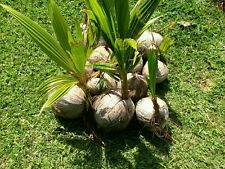 2Live Tropical Coconut PALM in/outdoor plant