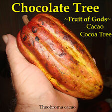 ~Chocolate Tree~ Theobroma Cacao CRIOLLO Cocoa NICER 12-16+in Plant from HAWAII