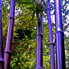 100pcs Soecial Purple Timor Bamboo Tree Seeds Garden Potted Plants Ornamental
