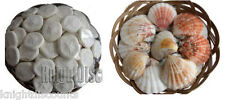 "SAND DOLLARS & SEA SHELLS in a 6"" Wicker Basket Sea Biscuit - Wholesale Lot NEW!"