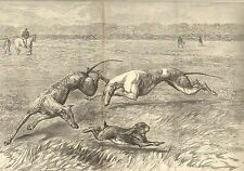 Greyhound Dogs, Coursing, Hare, Waterloo Cup, w/text, Dbl Pg, 1892 Antique Print