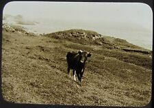 Glass Magic Lantern Slide CATTLE ON UNDERCLIFFE NO2 C1890 ISLE OF WIGHT PHOTO