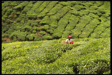477058 Boh Tea Plantation Malaysia A4 Photo Print