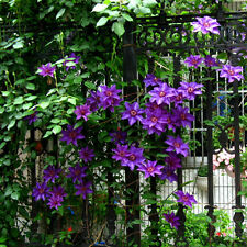 100pcs Clematis Seeds Flower Plant Seeds Home and Garden Seeds Colors New