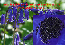 BLUEBELL English 600 Seeds Sow Now for stratification, Hyacinthoides non-scripta