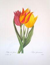 P.J. Redoute 140 Tulipa Gesneriana vintage print
