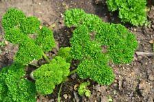 Krause perejil mooskrause perejil semillas semillas las hierbas aromáticas
