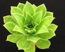 AEONIUM MAXIMUS NEW AMAZING SURREAL SUCCULENT