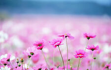 Framed Print - Sea of Small Pink Daisies (Picture Poster Art Flower Daisy Rose)