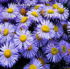 ERIGERON - Showy Fleabane Daisy Mix - 500 SEEDS - PERENNIAL FLOWER