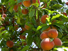 100 Nemaguard Peach Tree Seeds, Fast Growing, Free Shipping