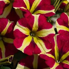 Pack x5 Semi Trailing Petunia 'Amore™ Queen of Hearts' Garden/Basket Plug Plants