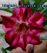 "Adenium Obesum Desert Rose ""Ultra Double Wave"" 30 seeds!"