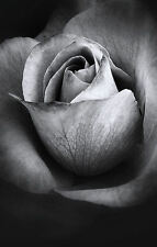 Framed Print - Soft Black and White Rose (Picture Poster Flowers Petals Art)