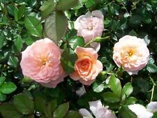 Apricot Drift NEW Groundcover Rose 2 Gal Shrub Plants Plant Disease Resist Roses