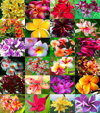 "NEW! Fresh Plumeria/Plants/Flowers/""Mixed 24 Type""  100 Seeds"