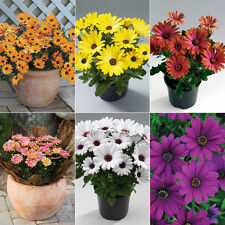 New Pack x6 Cape Daisy Osteospermum 'Sunny Mixed' Summer Bedding Plug Plants