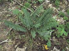 Christmas Ferns, Polystichum acrostichoides, 13 Starter Plants,Live Plants