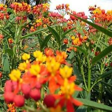 500 Mexican Butterfly Weed Seeds Blood Flower BULK SEEDS