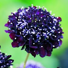 Pack Flower Seed Scabiosa Atropurpurea Black Knight King's Quality Seeds