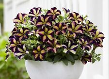 Flower seed - Petunia Grandiflora Hedgiflora Multiflora Color Mixed Stars