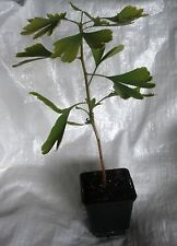 ALBERO Maidenhair, GINKGO BILOBA TREE PIANTE CM 30 - 40 Inc. POT.