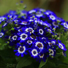 50 pcs Daisy Seeds Garden Blue DIY Awesome Easy to Grow Flower Free Shipping