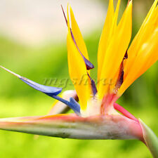 50x Strelitzia Reginae Flower Seeds Tropical Bird of Paradise Mallowwort Mallow