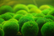 Nano Marimo Ball x5- Live Plant for Reptiles Aquarium