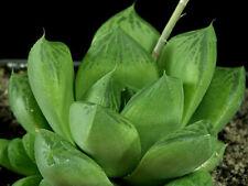 Haworthia x cuspidata succulent plant  6cm