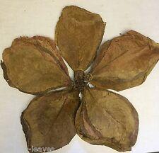 250 Gr   100 Stück Indische Seemandelbaumblätter Catappa Leaves ca. 20-25 cm