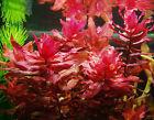 Red Rotala Macrandra LIVE AQUARIUM AQUATIC TROPICAL FISH TANK PLANTS bunched