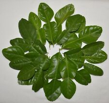 1 OZ Fresh Kaffir Lime Citrus Hyst Leaves Thai Gourmet Herbs Hand Picked Organic