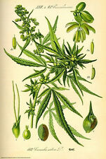 Cannabis Sativa Marijuana LAMINATED POSTER Flora Hemp Seed Weed Leaf BRAND NEW
