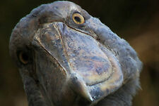 Framed Print - The Congo's Giant Shoebill Bird (Picture Poster Animal Art)