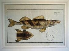"""FISCHE """"Der Zingel"""" - koloriertes Original aus Bloch, Naturgeschichte 1782!"""