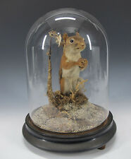Vintage Naturalistic Standing Mount Taxidermy Squirrel in Glass Show Globe yqz