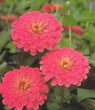 Zinnia Benary Giant Salmon Rose Annual Seeds