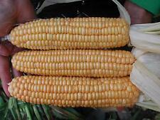Zuckermais Golden Bantam (Zea mays) 80 Korn - zertifiziertes Biosaatgut