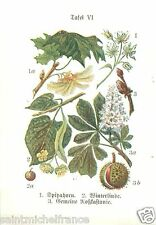 PLANCHE 1910  CARD IMAGE Norway maple Érable small-leaved lime horse-chestnut