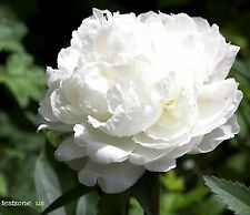White Peony Poppy Plant -25 Seeds- Indescribably Elegant Beauty Wedding Flowers