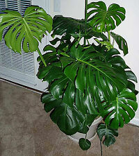 RARE& BEAUTIFUL MONSTERA DELICIOSA / SWISS CHEESE PLANT 2 CUTTINGS FOR GROWING