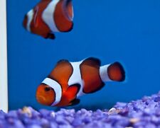 x4 (Four) Ocellaris Clown Fish Pack Tank Raised Sm/Md - Live Fish *Free Shipping