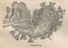 A0978 Cristatella - Stampa Antica del 1911 - Xilografia