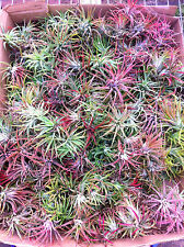 Bromeliads - Tillandsia Ionanthas 100 + Airplants