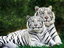 Pair White Tigers Canvas Paper Poster Photo Picture Wild Tiger Print A3 16 x 11