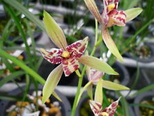 3 growths chinese orchid/ cymbidium ensifolium-宝岛仙女