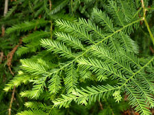 TreesAgain Potted Redwood Tree - Sequoia sempervirens - 10 to 18+ inches
